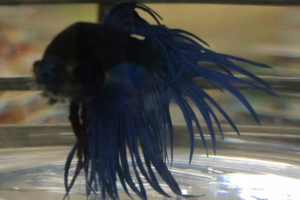 blue crowntail, betta