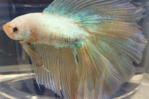 white double tail betta