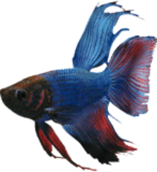 blue delta tail betta, Betta breeding