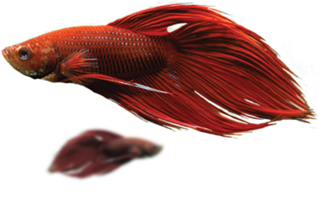 red veil tail betta,Betta breeding