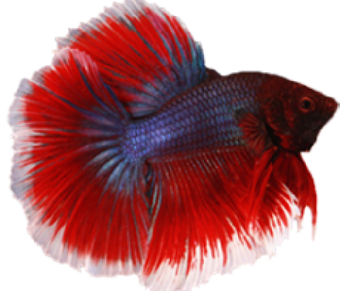Red halfmoon betta, Betta breeding