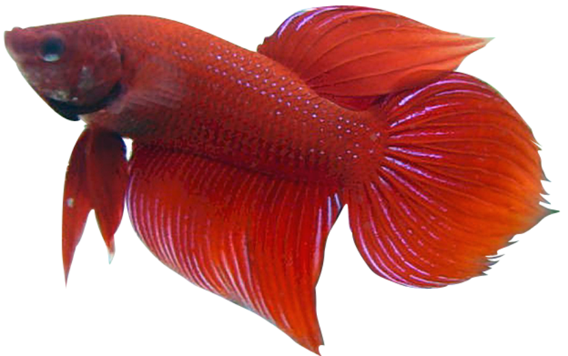 Betta breeding, red