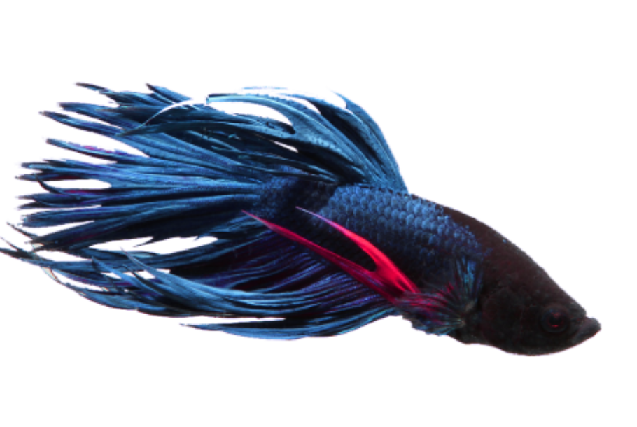 betta crown tail