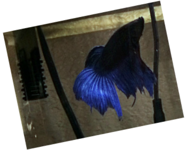 betta fin rot, betta illnesses
